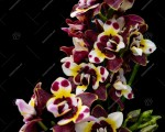 Phal.Yaphon Star Diamond 'AN 6602'. 2.5