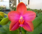 Phal. Mituo Sun Queen ' Mituo#5 '