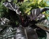 PH001 Philodendron Black Cardinal