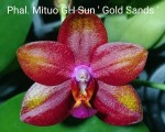 MCL-130 Phal.Mituo GH Sun 'Gold Sands'