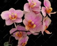 Vdnps. 'Orange Sorbet' (= Vdnps. Jiaho's Orange × Phal. schilleriana)