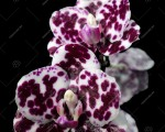 MCL-128 Phal.Mituo Sunrise 'Mituo-snake'